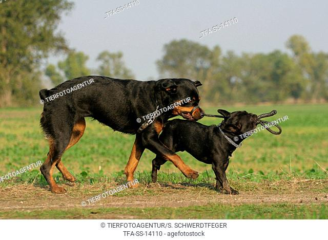playing Rottweiler and French Bulldog