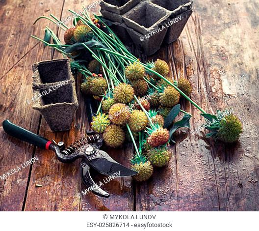 sheaf of cut plants on the background of secateurs on wooden table