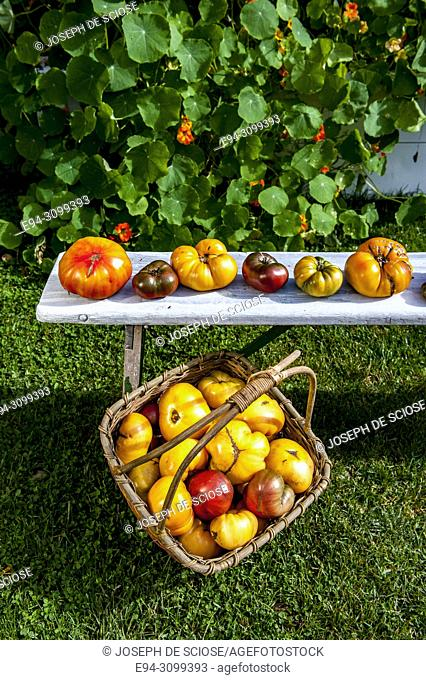 A variety of freshly harvested heirloom tomatoes on a white bench and a basket in a garden
