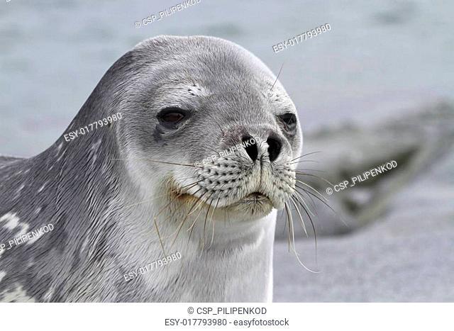 Portrait of a Weddell seal 1