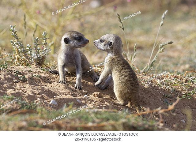 Meerkats (Suricata suricatta), two young males at burrow, looking at each other, nose to nose, Kgalagadi Transfrontier Park, Northern Cape, South Africa, Africa