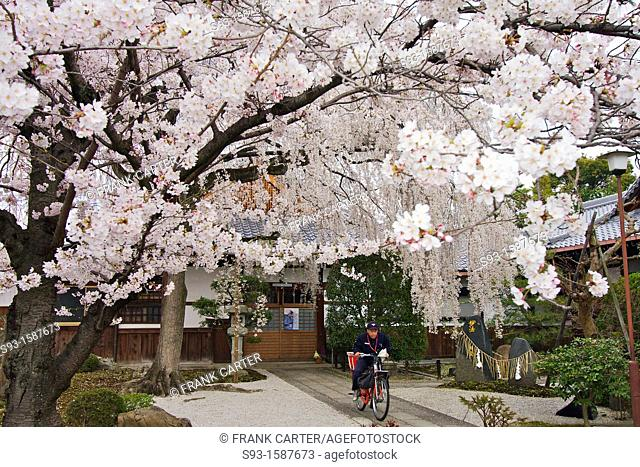 A cherry blossom tree in full bloom, with a letter carrier on a bicyle underneath