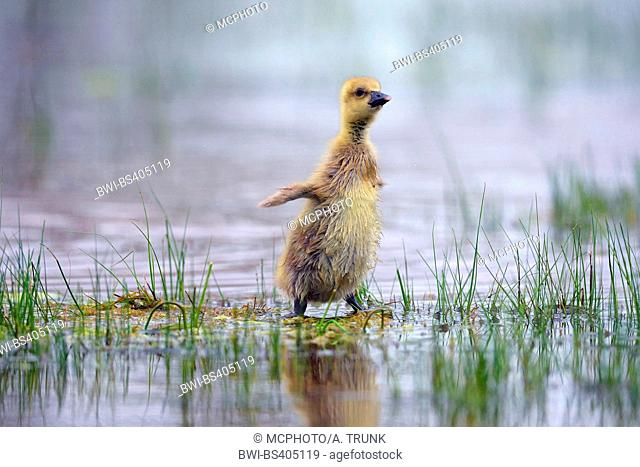 greylag goose (Anser anser), goose chick standing erect in a floated meadow, Austria, Burgenland, Neusiedler See National Park