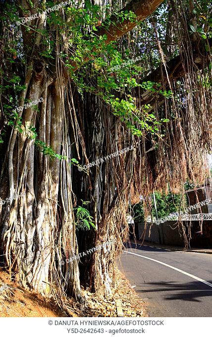 Banyan tree, Indian Banyan, Bengal fig, Indian fig, Ficus benghalensis, Africa, Mascarene, Mascarene Islands, Mascarenhas, Mauritius, Northern Mauritius