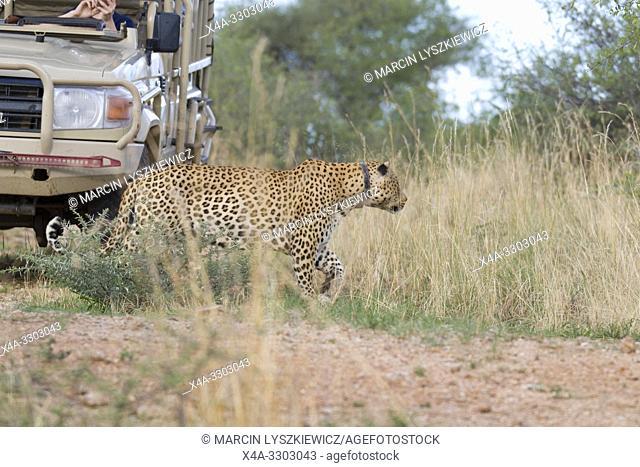 Leopard (panthera pardus) using tourist car as a hide