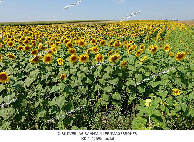 Sunflower field, Frauenkirchen, Neusiedl Lake, Seewinkel National Park, Burgenland, Austria