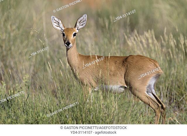 Steenbok (Raphicerus campestris), in the bush, Kgalagadi Transfrontier Park, Kalahari desert, South Africa/Botswana