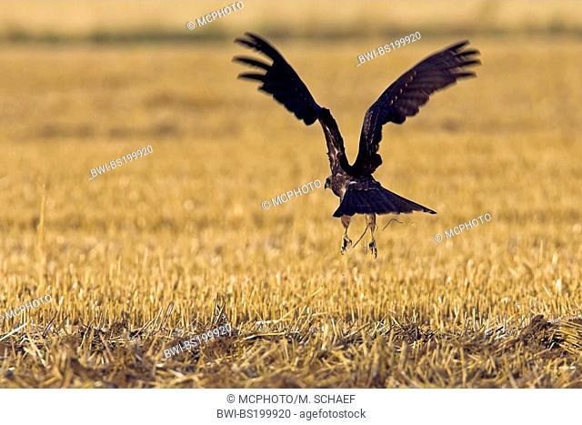 black kite, yellow-billed kite (Milvus migrans), taking off a stubble field, Germany