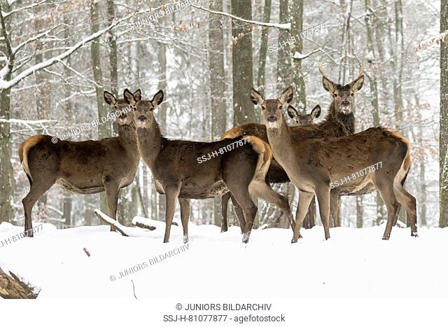 Red Deer (Cervus elaphus). Does and young stag standing in snowy forest. Germany
