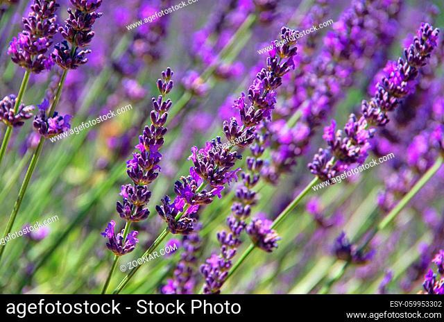 Lavendel - lavender 70a