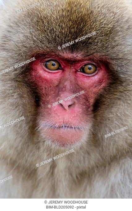Close up of snow monkey's face