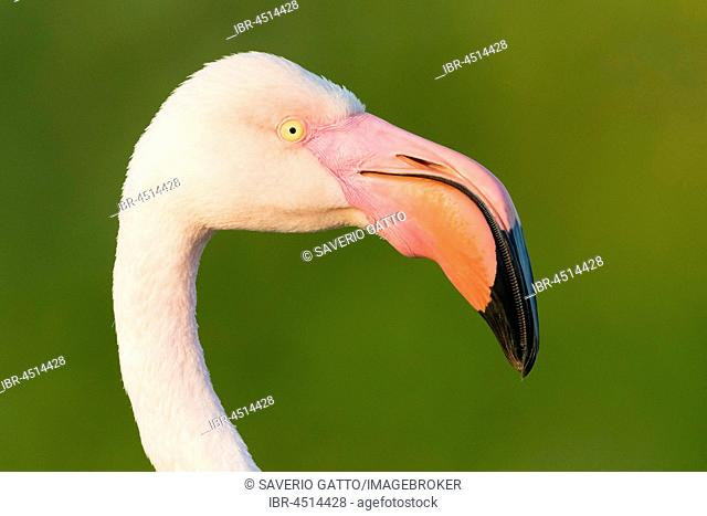 Greater Flamingo (Phoenicopterus roseus), adult, portrait, close-up, Campania, Italy