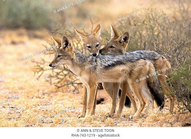 Blackbacked jackals (Canis mesomelas), Kgalagadi Transfrontier Park, South Africa, Africa