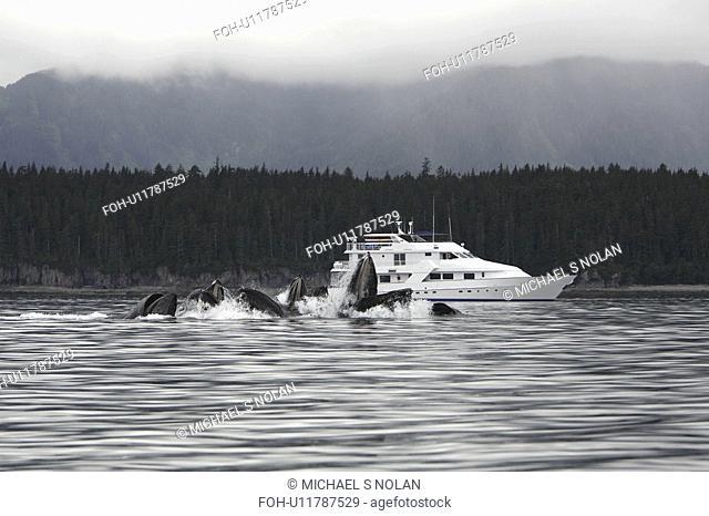 Humpback Whales Megaptera novaeangliae co-operatively bubble-net feeding near the Safari Quest in Chatham Strait in Southeast Alaska, USA