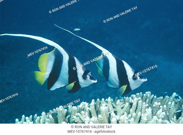 Coachman / Featherfin Coralfish / Longfin Bannerfish / Long-finned Bannerfish / Pennant Bannerfish / Pennant Coralfish / White bannerfish / Black-and-White...