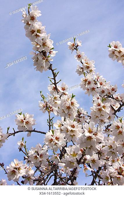 Blossom almond. Prunus dulcis, syn. Prunus amygdalus Batsch., Amygdalus communis L., Amygdalus dulcis Mill. Photo take in Porrera, Priorat, Tarragona, Spain