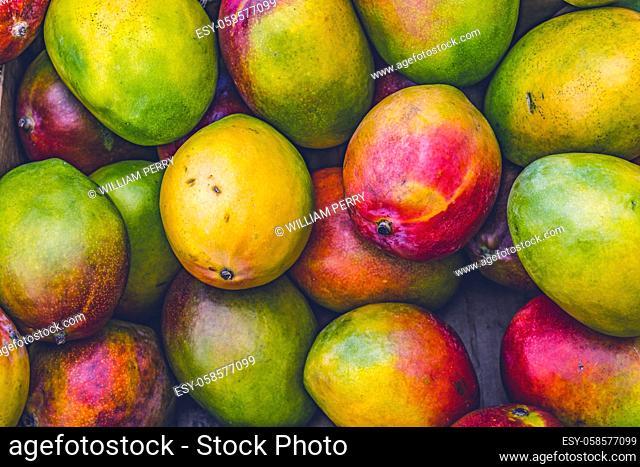 Many Yellow Red Orange Green Mangos Fruit Fort Lauderdale Florida. Mangifera indicia