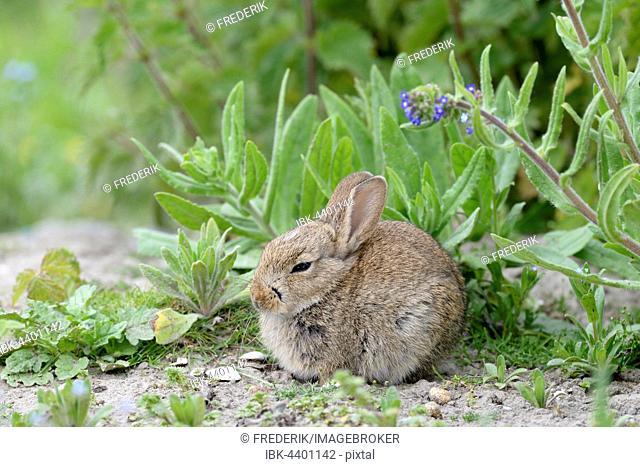 European rabbit (Oryctolagus cuniculus), juvenile, Norderney, East Frisian Islands, Lower Saxony, Germany