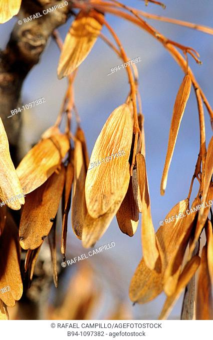 Seeds of Ash (Fraxinus excelsius, fam. Oleaceae), Osseja, Pyrenees-Orientales, Languedoc-Roussillon, France