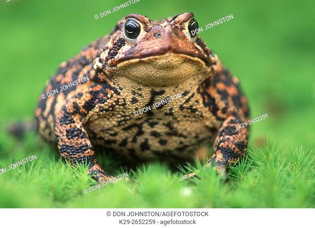American toad (Bufo americanus), Greater Sudbury, Ontario, Canada