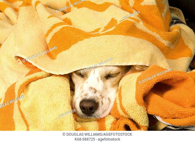 Dog sleeping under towel
