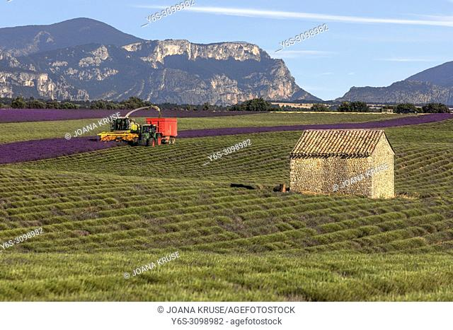 harvest of lavender, Valensole, Alpes-de-Haute-Provence, Provence, France, Europe