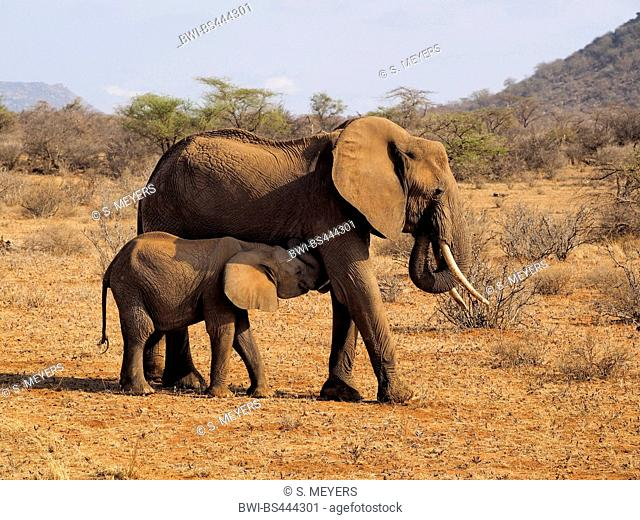 African elephant (Loxodonta africana), cow elephant suckling her elephant calf in the savannah, Kenya, Samburu National Reserve
