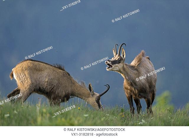 Alpine Chamois ( Rupicapra rupicapra ) feeding on an alpine meadow, one is bleating loudly, complaining, warning, funny.