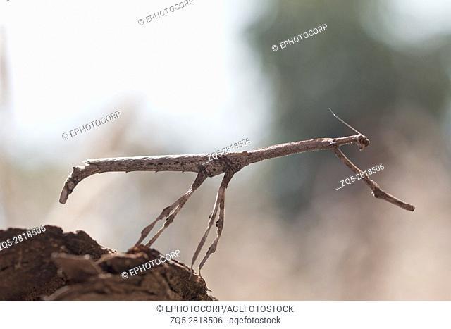 Stick mantis, Bhoramdeo Wildlife Sanctuary, Chhattisgarh