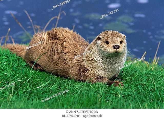 Otter Lutra lutra, Otter Trust North Pennine Reserve, Barnard Castle, County Durham, England, United Kingdom, Europe