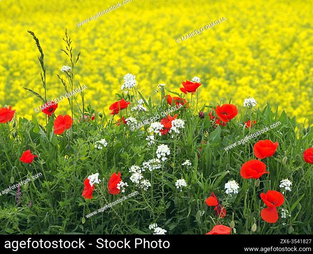 Poppies at colza plantation. Taradell village countryside. Osona region, Barcelona province, Catalonia, Spain