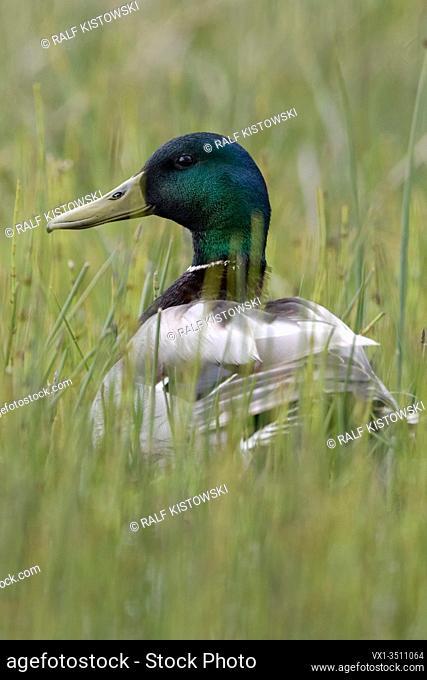 Mallard / Wild Duck / Stockente ( Anas platyrhynchos ), male adult, sitting in low natural vegetation, watching attentively, wildlife, Europe