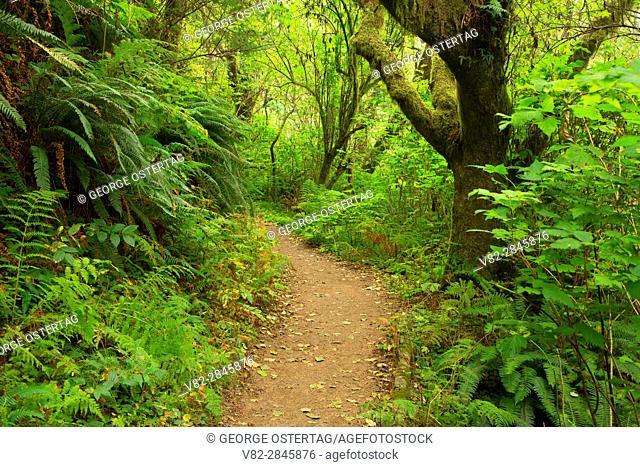 Giant Spruce Trail, Cape Perpetua Scenic Area, Siuslaw National Forest, Oregon