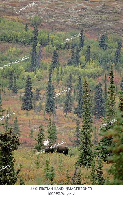 Male Moose Alces alces in the autumn coloured Denali Nationalpark Alaska USA