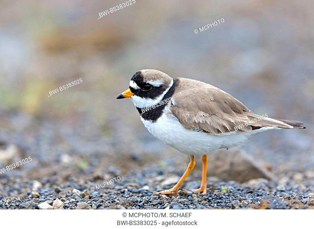 ringed plover (Charadrius hiaticula), stands on the ground, Iceland, Husavi¡k