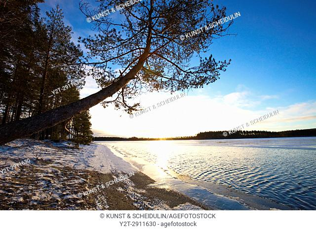 Pine tree growing at the sandy shore of a quiet lake in early winter. Tällvattnet, Bredbyn, Västernorrland, Sweden