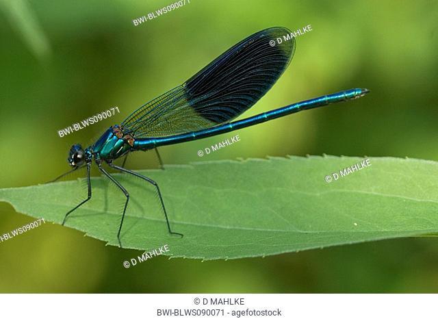 banded blackwings, banded agrion, banded demoiselle Calopteryx splendens, Agrion splendens, male, Bulgaria, Alexandrowo