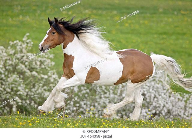 Tinker Pony horse - galloping on meadow
