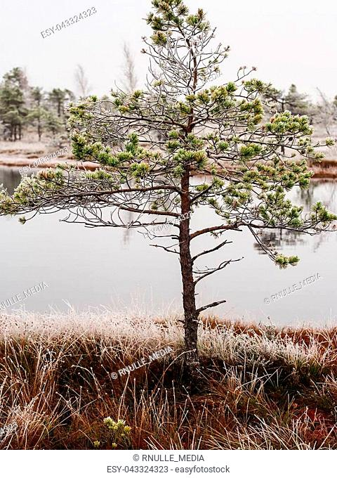 Pine Trees in Field of Kemeri moor in Latvia with a Pond in a Background on a Cold Winter Morning with some Frost on them