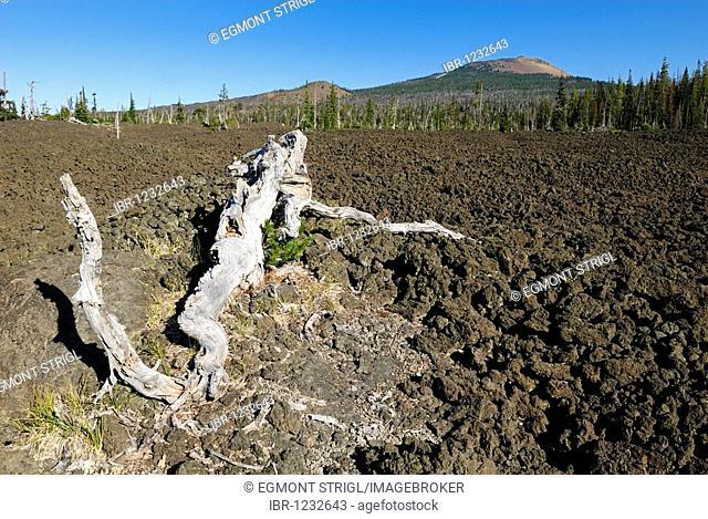 Dead tree in a volcanic lava landscape near Belknap Crater, McKenzie Pass, Cascade Range, Oregon, USA