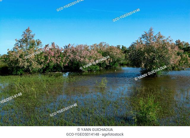 Tamarix,Natural Regional Park Of Camargue, France