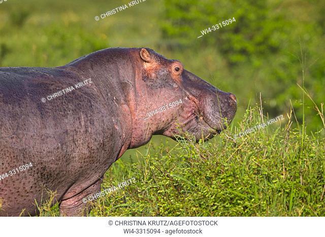 Wild hippopotamus (Hippopotamus amphibus), Masai Mara National Reserve, Kenya, Africa