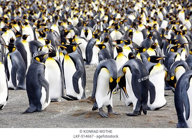 King Penguins, Aptenodytes patagonicus, Gold Harbour, South Georgia, Antarctica