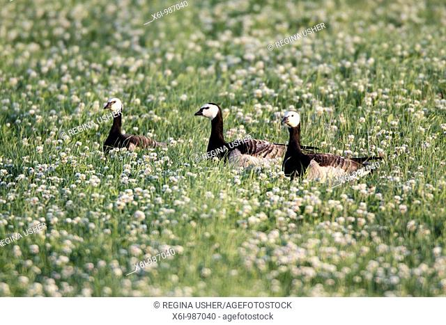Barnacle Goose Branta leucopsis, three resting on meadow, Texel, Holland