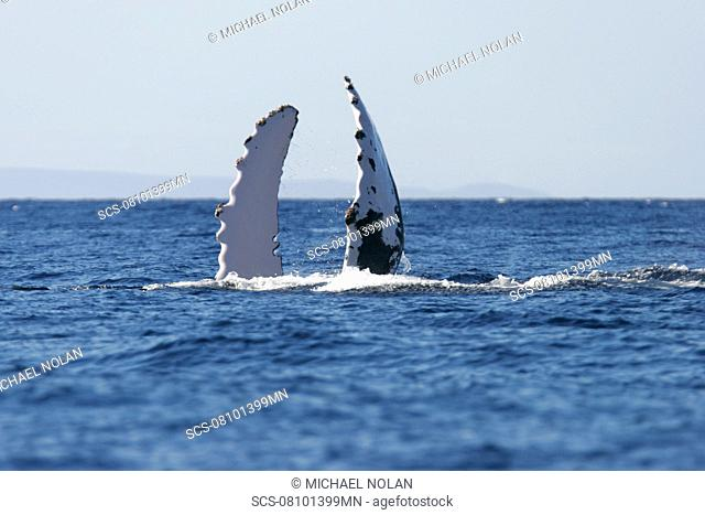 Humpback whale Megaptera novaeangliae with both pectoral fins in the air in the AuAu Channel, Maui, Hawaii, USA Pacific Ocean