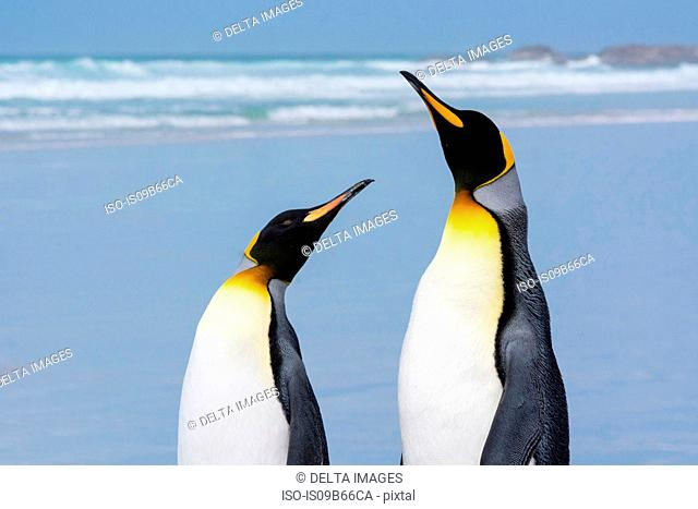 Portrait of two King penguins (Aptenodytes patagonica), on sandy beach, Port Stanley, Falkland Islands, South America