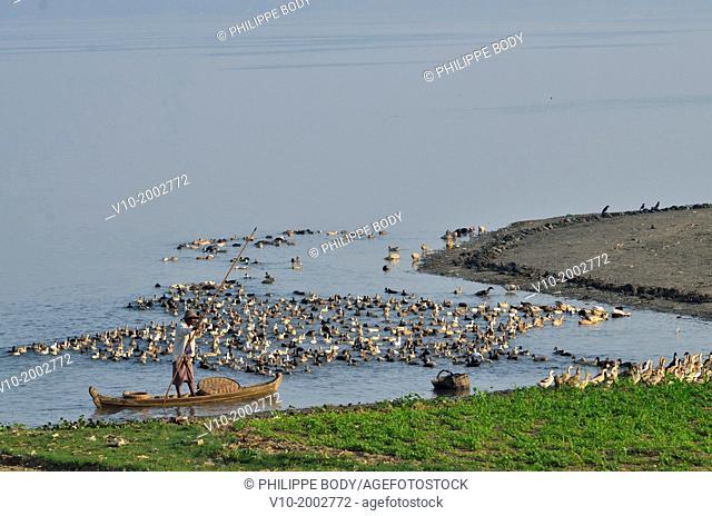 Burma, Myanmar, Amarapura, U Bein, lake Taungthman, duck shepherd