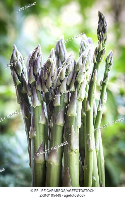 Green asparagus in spring