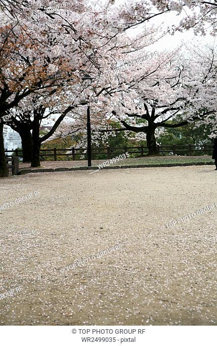 Sakurahana,Kumamoto Castle,Japan