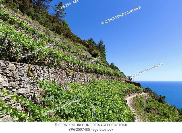 vineyard near Manarola, Cinque Terre, Liguria, Italy